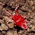Mite - Eutrombidium