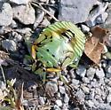 Iowa bug - Chinavia hilaris