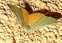 Piralid moth. ? - Chloraspilates bicoloraria - female