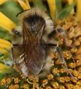1461 - Bombus fernaldae