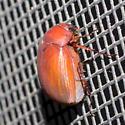 May beetle - Maladera castanea