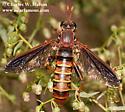 Mydas Fly - Mydas arizonensis - female
