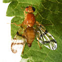 Rhagoletis basiola, I think - Rhagoletis basiola - female