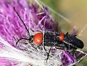 Black beetle(s) with red pronotum - Batyle ignicollis - male - female