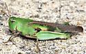 Northern Green Striped Grasshopper - Chortophaga viridifasciata - female