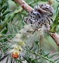 spider in the bald cypress tree - Phidippus putnami