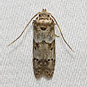 Acorn Moth - Hodges#1162 - Blastobasis glandulella