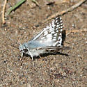 Checker-Skipper - Pyrgus albescens