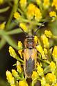 Cerambycid on Rabbit Brush - Crossidius - female