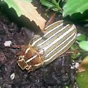 Beetle in Planter - Polyphylla decemlineata