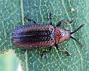 A red and black bug - Microrhopala vittata