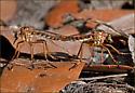 Diogmites - Diogmites properans - male - female