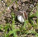 Spider Carrying Egg Sac - Pisaurina mira