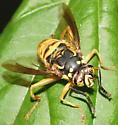Spilomyia sp? - Spilomyia alcimus