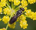 Small Bee - Hylaeus modestus