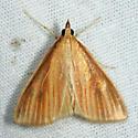 moth - Nascia acutellus