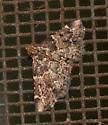 Unidentified moth - Pyralidae - Pyralis manihotalis