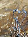 Comanche Dancer(s) - Argia barretti - male - female