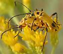 soldier beetles - Chauliognathus - male - female