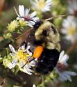 Bumblebee - Bombus impatiens - female