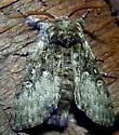 03/18/2020 moth 2 - Colocasia propinquilinea
