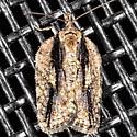 Multiform Leafroller Moth - Acleris flavivittana