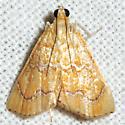 White-roped Glaphyria Moth - Hodges #4870 - Glaphyria sesquistrialis