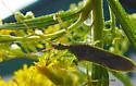 Bug on Goldenrod Two - Zelus renardii