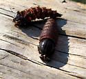Mydas fly larvae