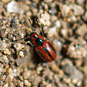 Unknown beetle - Entomoscelis americana