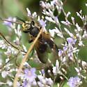 brown winged wasp? - Tachytes guatemalensis - female