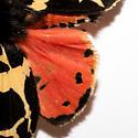 Apantesis behrii - Apantesis - male