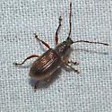 Weevil 06.22.2010 036 - Cyrtepistomus castaneus