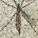 Crane fly - Tipula abdominalis - female