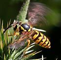 Yellow Jacket, Queen? - Vespula pensylvanica - female