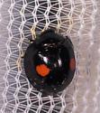 Twice Stabbed Lady Beetle? - Chilocorus stigma