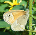 Butterfly - Coenonympha tullia