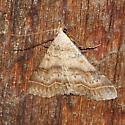 Bent-winged Owlet - Bleptina caradrinalis