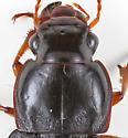Ground Beetle - Harpalus pensylvanicus - female