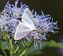 moth - Palpita quadristigmalis