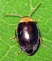 Beetle 17 - Sacodes thoracica