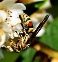 Please help us to identify the species of this wasp feding on Loquat flowers. - Polistes exclamans