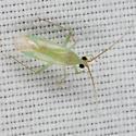 Plant Bug IMG_0267 - Blepharidopterus provancheri