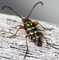 longhorn beetle? - Typocerus zebra