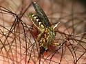 Mosquito - Coquillettidia perturbans - female