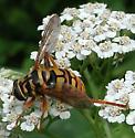 NJ Yellowjacket Hover Fly - Milesia virginiensis