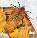 St. Lawrence Tiger Moth - Platarctia parthenos