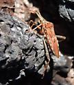 Gold-winged Bug Lateral - Leptoglossus occidentalis