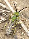 Agapostemon metallic green bee? - Agapostemon
