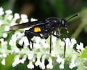 Black with orange mydas fly - Mydas clavatus